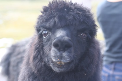 Some of the llamas really were too friendly