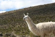 Altiplano - 110