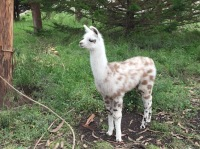 Baby Llama almost looks like a cartoon character