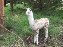 Baby Llama almost looks like a cartoon character