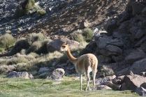Altiplano - 71