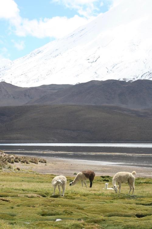 altiplano-llama - 1
